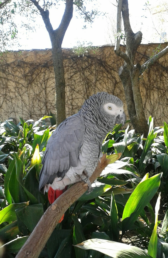 african grey parrot, south arica, wildlife, parrot