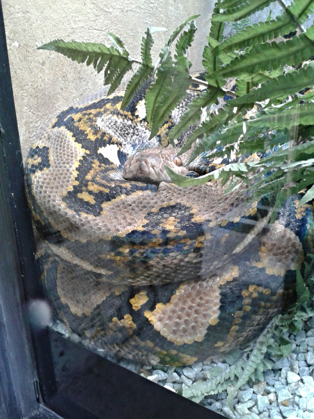 python snake, python, snake, cabin crew blog