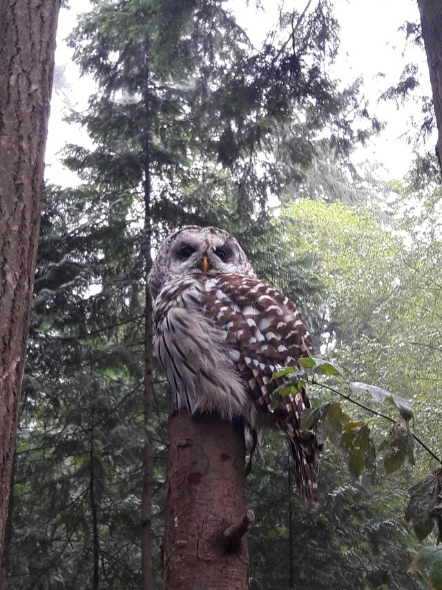 Barred owl, capilano suspension bridge park, vancouver, canada, travel blog, nature, cabin crew blog, flight attendant blog