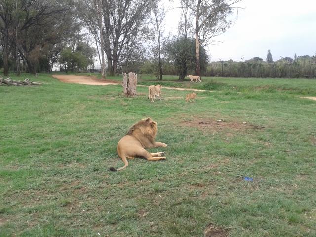 lion, male lion, safari, lion and safari park johannesburg, south africa, joberg, cabin crew blog, flight attendant blog, travel blog