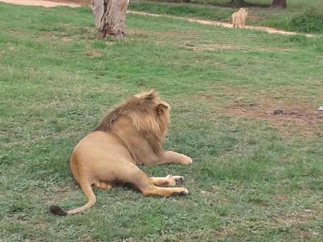male lion, lion, safari, lion and safari park south africa, joberg, cabin crew blog, flight attendant blog, travel blog