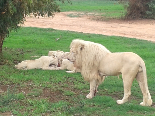white lion, lion, male lion, lion pride, lions feeding, lion and safari park gauteng, johannesburg, south africa, cabin crew blog, flight attendant blog, travel blog