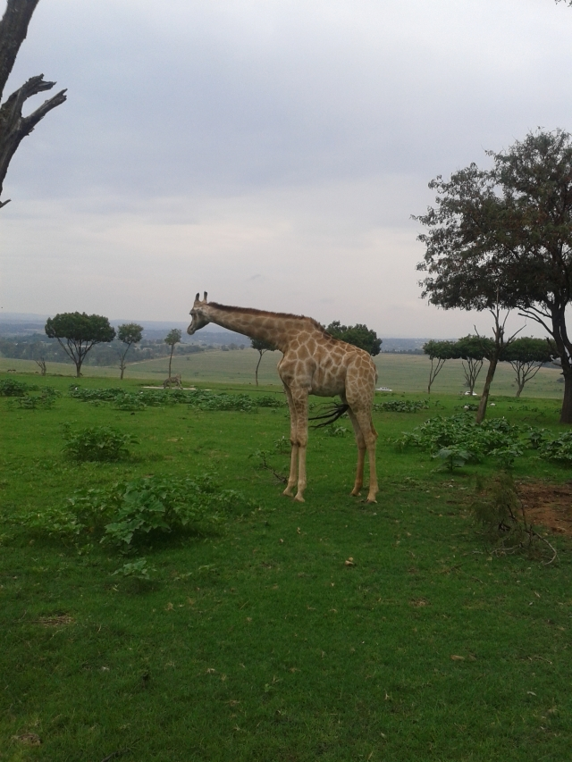 giraffe, lion and safari park gauteng, johannesburg, south africa, safari, cabin crew blog, flight attendant blog, travel blog