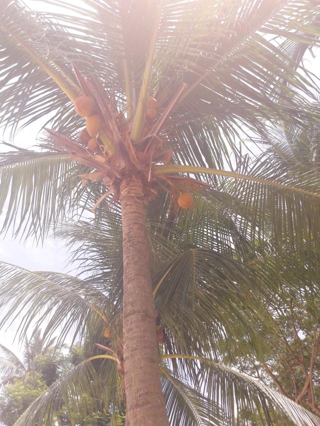 coconut, palm tree