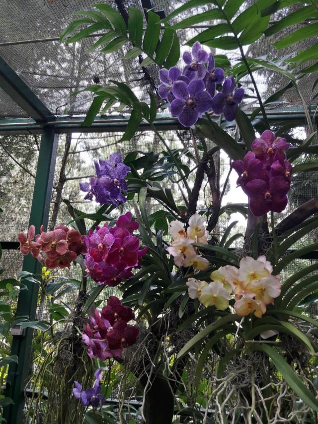 singapore botanic gardens, orchids